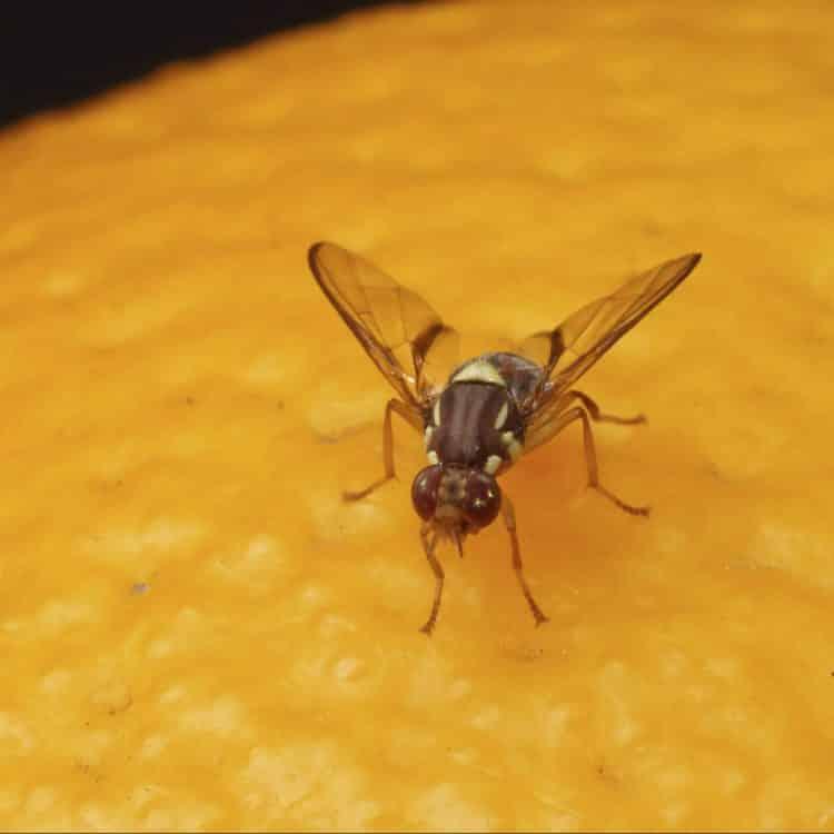 Sirke sineği